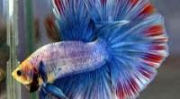 hava ile solunum yapabilen balıklar