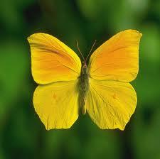 Kelebekler Hakkında Bilgi; Kelebeklerin Özellikleri Nelerdir?