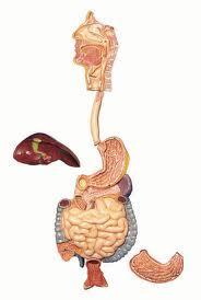Sindirim Sistemi Nedir? Sindirim Sistemimizin Anatomisi