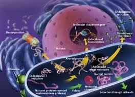 Endoplazmik Retikulum Nedir? Vücudumuzdaki Görevi Nedir?