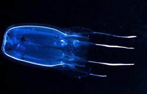 kutu-denizanasi